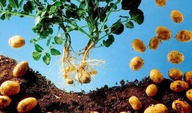 乌克兰马铃薯生产量进入世界前五名